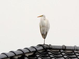 白鷺 の写真素材 [FYI00303364]