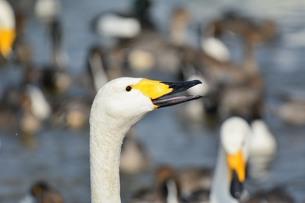 白鳥 嘴の写真素材 [FYI00303371]