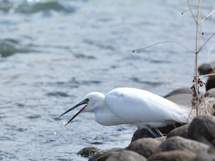 小鷺の捕食の写真素材 [FYI00303388]