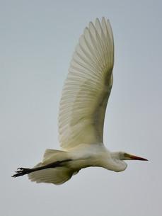 白鷺の写真素材 [FYI00303423]