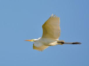 白鷺の写真素材 [FYI00303435]