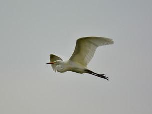 白鷺の写真素材 [FYI00303436]