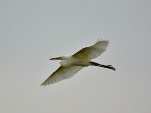 白鷺の写真素材 [FYI00303437]