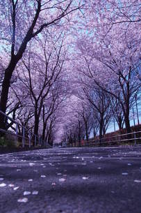 桜路2の写真素材 [FYI00303447]