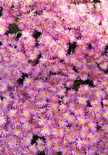 ピンクの菊の写真素材 [FYI00303753]