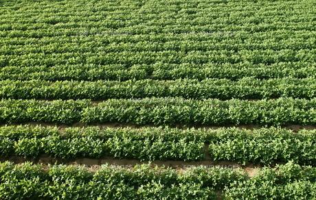緑の落花生畑の写真素材 [FYI00303935]
