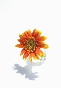 一輪のオレンジ色のガーベラの花の写真素材 [FYI00303984]
