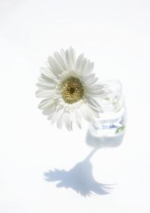一輪の白色のガーベラの花の写真素材 [FYI00303998]