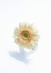 一輪のベージュ色のガーベラの写真素材 [FYI00304002]