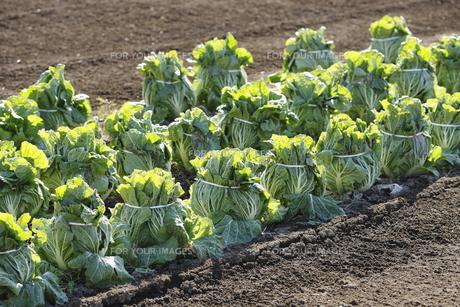 白菜畑の写真素材 [FYI00304194]