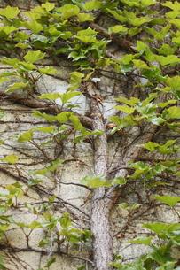 建物に絡みつく木の写真素材 [FYI00304330]