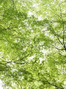 生い茂る新緑の葉の素材 [FYI00304356]