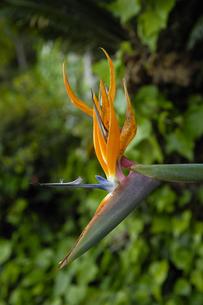 極楽鳥花の写真素材 [FYI00304640]