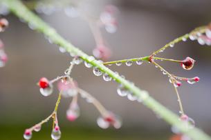雨の雫と赤い実の写真素材 [FYI00304716]