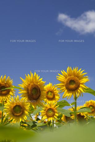 ヒマワリと青空とわた雲の写真素材 [FYI00305586]