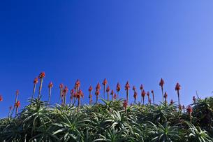 アロエの花の写真素材 [FYI00306098]