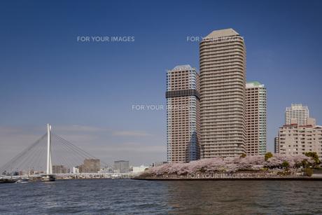 桜と高層マンション群と隅田川の写真素材 [FYI00307161]