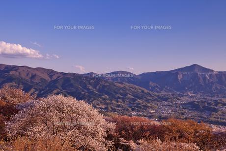 桜と秩父市街と武甲山の写真素材 [FYI00307182]