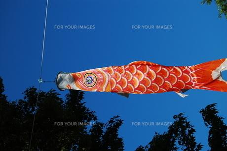 鯉のぼりの写真素材 [FYI00308076]