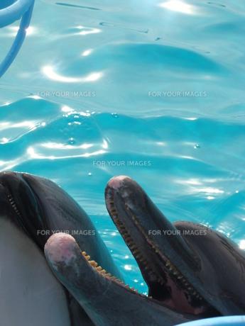 イルカの写真素材 [FYI00308506]