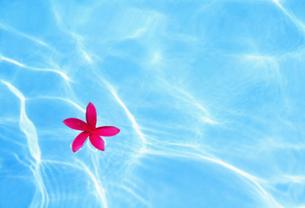 水面のプルメリアの写真素材 [FYI00308574]