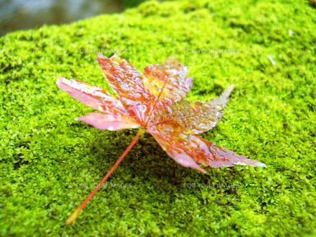 苔と紅葉の写真素材 [FYI00308608]