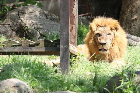 顔に傷のあるライオンの写真素材 [FYI00308625]