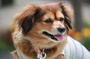 洋服を着た犬の写真素材 [FYI00308627]