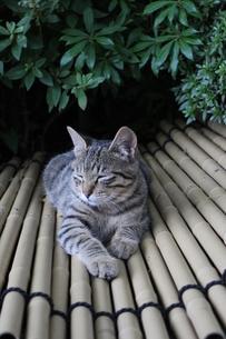 居眠り猫の写真素材 [FYI00308629]