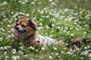 クローバーの中の犬の写真素材 [FYI00308654]