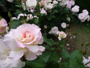バラのパレードの写真素材 [FYI00308829]