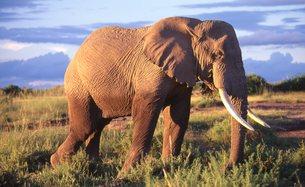 象の写真素材 [FYI00309869]