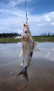 ピラニア釣りの写真素材 [FYI00310164]