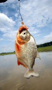 ピラニア釣りの写真素材 [FYI00310169]
