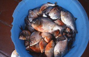 ピラニア釣りの写真素材 [FYI00310174]