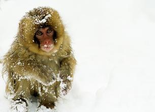 雪猿 Snow Monkeyの写真素材 [FYI00310304]