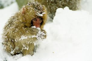 雪猿 Snow monkeyの写真素材 [FYI00310310]
