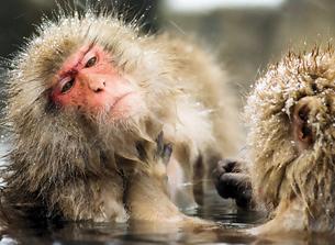 おサルの温泉の写真素材 [FYI00310311]