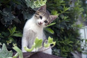 不思議そうな顔の子猫の写真素材 [FYI00310638]
