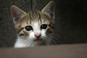 びっくりした顔の子猫の写真素材 [FYI00310639]