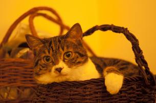 籠入り猫の写真素材 [FYI00310648]
