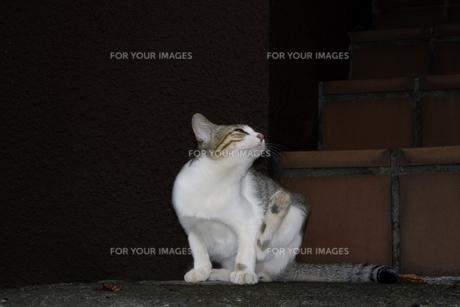 毛繕いする子猫の写真素材 [FYI00310660]