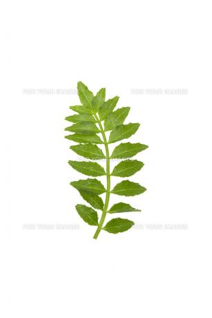 山椒の若芽の写真素材 [FYI00310801]