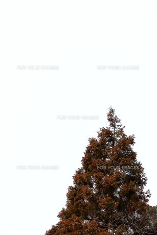 杉花粉の写真素材 [FYI00311046]