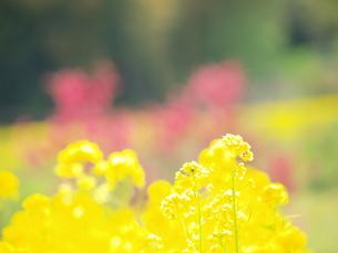 菜の花の写真素材 [FYI00311128]