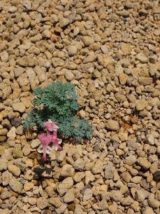砂に咲くの素材 [FYI00311136]
