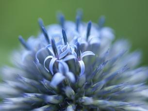 青い花の写真素材 [FYI00311166]