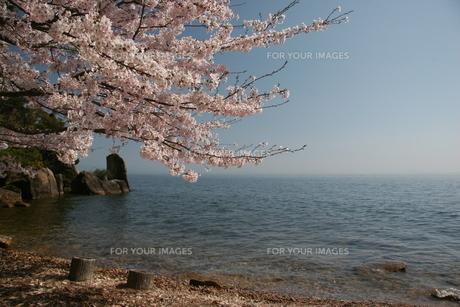 湖と桜の写真素材 [FYI00311311]