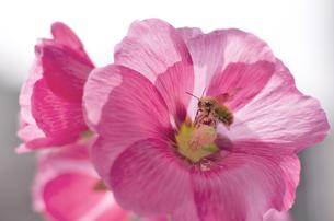 花とミツバチの写真素材 [FYI00311368]