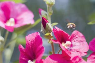 花とミツバチの写真素材 [FYI00311382]